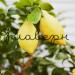 Цитрофортунелла Лимон штамб фото