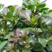 Крассула Овата (Денежное дерево) фото