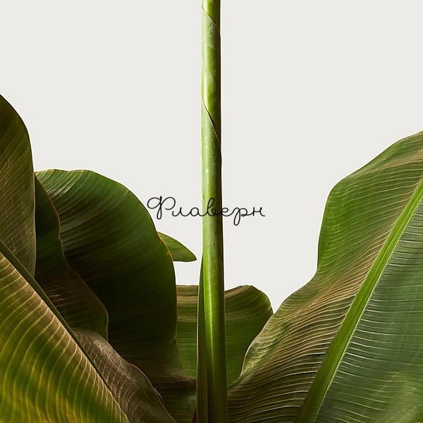Банан Муса Дворф Кавендиш фото
