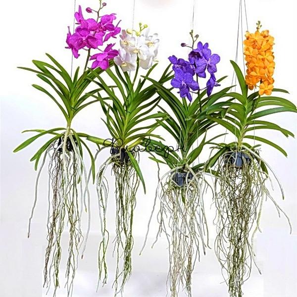 Орхидея Ванда подвесная МИКС фото