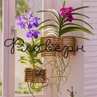 Орхидея Ванда подвесная МИКС