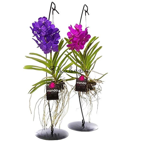Орхидея Ванда на стенде МИКС фото