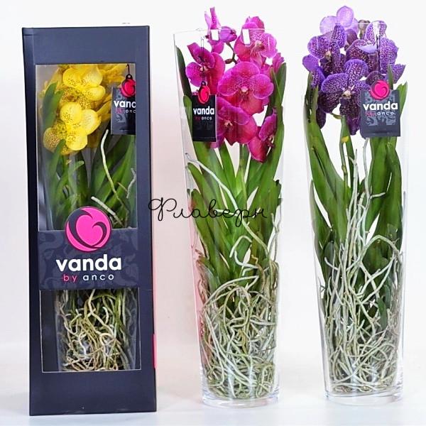 Орхидея Ванда в вазе Лисан МИКС фото