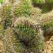 Кактус Никтоцереус змеевидный Кристата фото