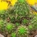 Кактус Лобивия (Эхинопсис) фото