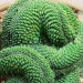 Кактус Маммиллярия Пико Кристата в керамической плошке фото