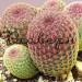 Кактус Эхиноцереус Ригидиссимус Рубриспинус в керамической плошке фото