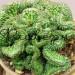 Кактус Эуфорбия Хоррида Кристата в керамической плошке фото