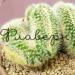 Кактус Маммиллярия Пилкаенсис Кристата в керамической плошке фото