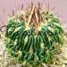 Эхинофоссулокактус (Стенокактус) Ламеллосус в керамической плошке фото