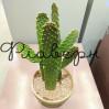 Кактус Опунция (Консолея) в керамическом кашпо фото