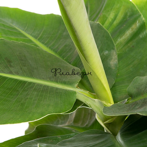 Банан Муса Тропикана фото
